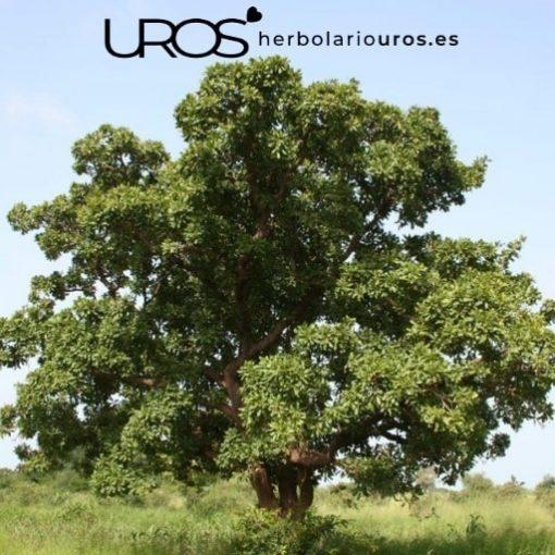 Árbol de Karité - La fuente de manteca de karite pura ecológica - cuida tu piel naturalmente
