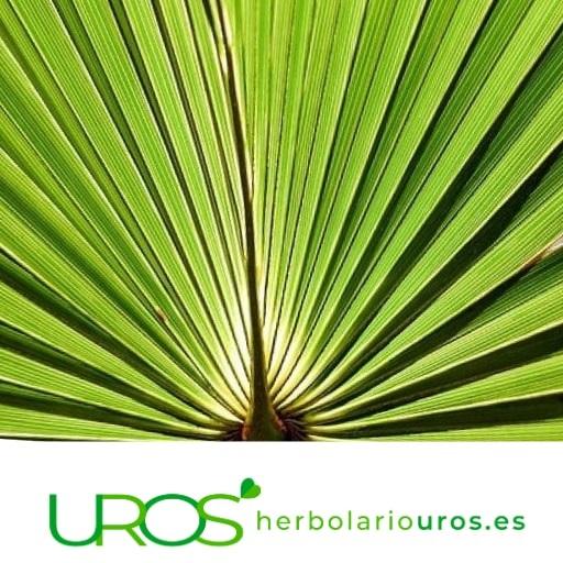 Saw palmeto propiedades - Beneficios de Serenoa repens Como usar este remedio natural para la salud del hombre La palmera Serenoa repens tiene muchas propiedades beneficiosas para la salud masculina - descúbrelas