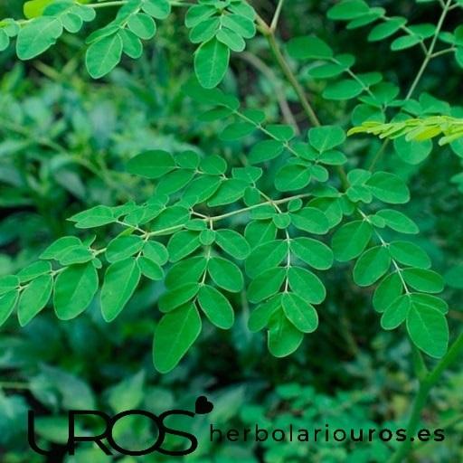 Moringa - propiedades naturales de esta planta Descubre los beneficios de la Moringa - una planta con extraordinarios beneficios para tu salud ¿Qué propiedades tiene la moringa y para qué sirve? Descubre todas sus ventajas