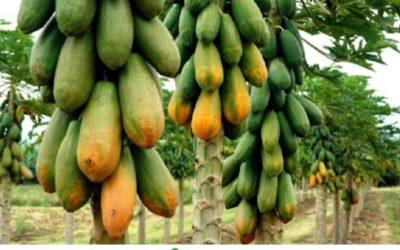 ¿Papaya qué beneficios tiene?