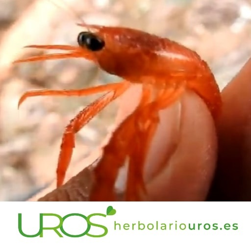 ¿Krill qué es? ¿Qué es el Krill? Beneficios naturales de esteaceite -¿Que propiedades tiene elaceitede Krill?
