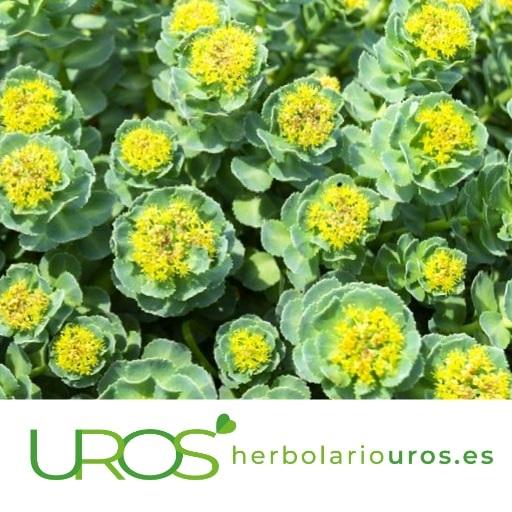 Para qué sirve la Rhodiola Beneficios y propiedades naturales de la planta de Rhodiola Rhodiola - para qué sirve - Adaptógeno natural