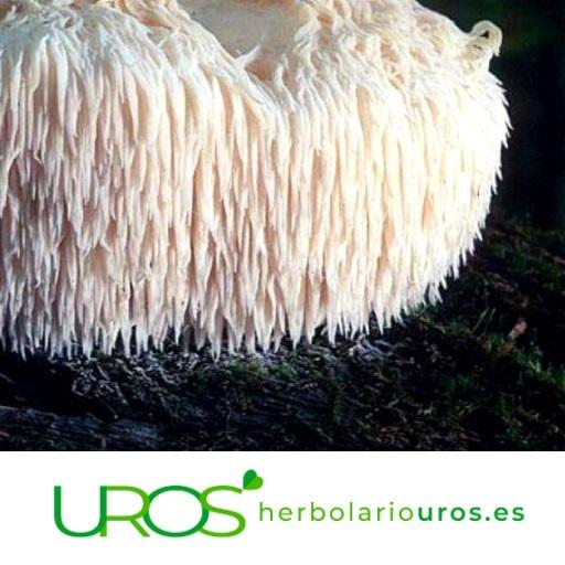 Melena de león y sus propiedades Descubre las propiedades y beneficios naturales de este hongo La melena de león es un hongo puede ayudar a tu sistema nervioso, tu digestión y aumentar tus defensas naturales