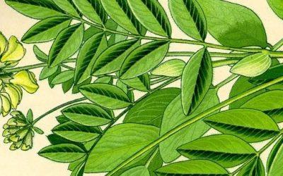 Astrágalo propiedades y contraindicaciones – Astrágalus propiedades medicinales