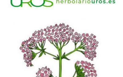 Valeriana en cápsulas – propiedades y beneficios para tu traquilidad y tu relax