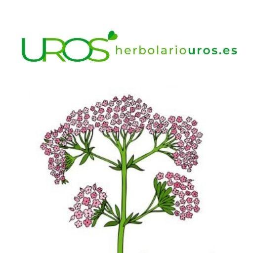 Valeriana en cápsulas - descubre sus propiedades naturales La valeriana tiene muchos beneficios para tu salud en cuanto a tu bienestar, tranquilidad y relax